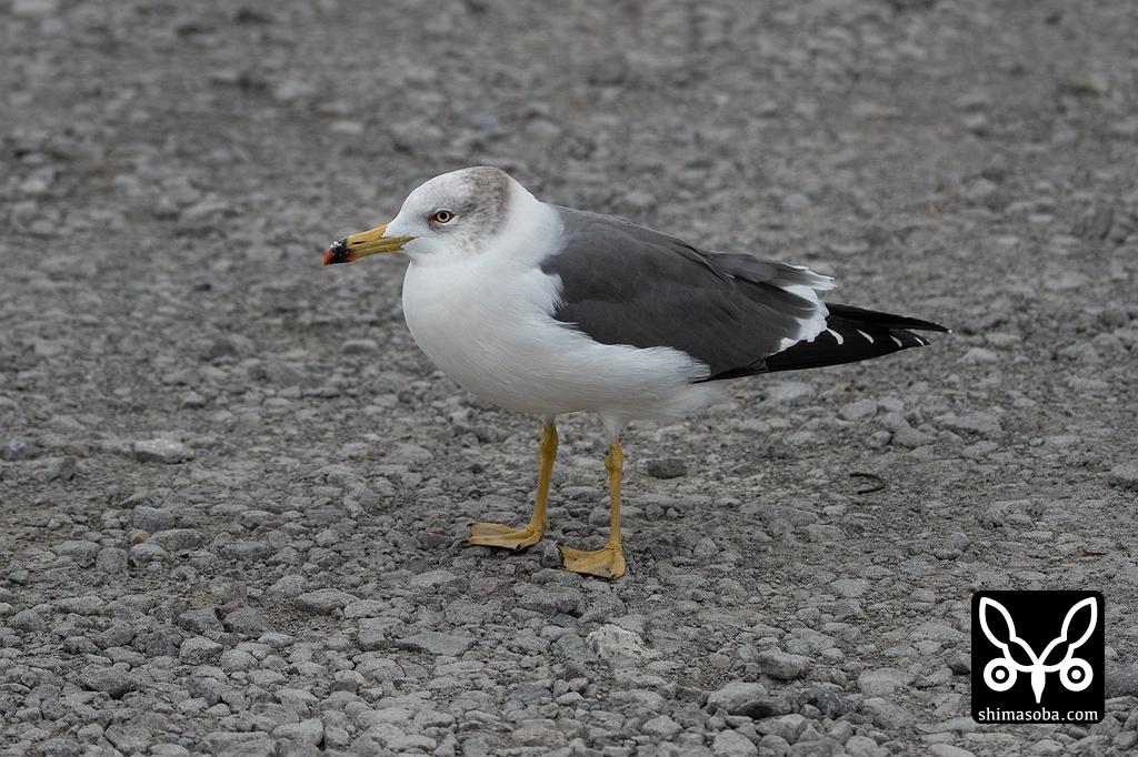 ウミネコ(2019年10月13日 07時05分) 野鳥情報一覧 --沖縄本島・八重山(石垣島、西表島、竹富島など)で